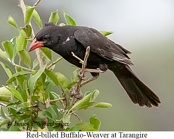 Red-billed Buffalo-Weaver - © The Photographer and Exotic Birding LLC