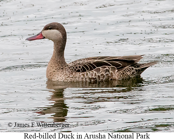 Red-billed Duck - © The Photographer and Exotic Birding LLC