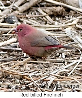 Red-billed Firefinch - © James F Wittenberger and Exotic Birding LLC