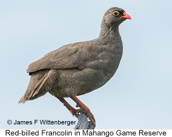 Red-billed Francolin - © James F Wittenberger and Exotic Birding LLC