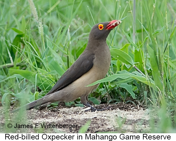 Red-billed Oxpecker - © James F Wittenberger and Exotic Birding LLC