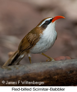 Red-billed Scimitar-Babbler - © James F Wittenberger and Exotic Birding Tours
