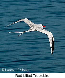 Red-billed Tropicbird - © Laura L Fellows and Exotic Birding Tours