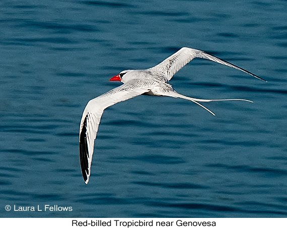 Red-billed Tropicbird - © Laura L Fellows and Exotic Birding LLC