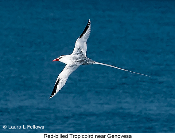 Red-billed Tropicbird - © The Photographer and Exotic Birding LLC