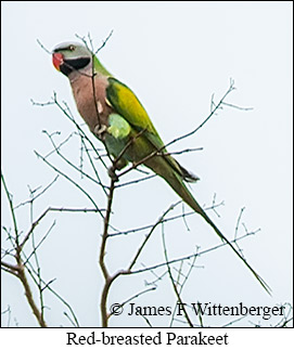 Red-breasted Parakeet - © James F Wittenberger and Exotic Birding Tours