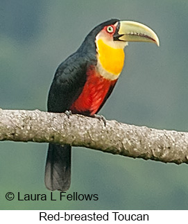 Red-breasted Toucan - © Laura L Fellows and Exotic Birding Tours