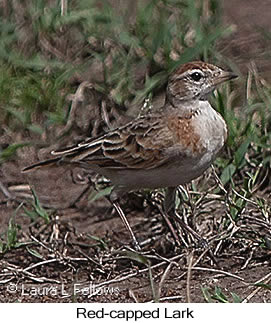 Red-capped Lark - © Laura L Fellows and Exotic Birding LLC