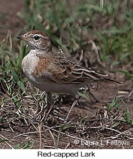 Red-capped Lark - © Laura L Fellows and Exotic Birding Tours