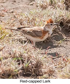 Red-capped Lark - © James F Wittenberger and Exotic Birding LLC