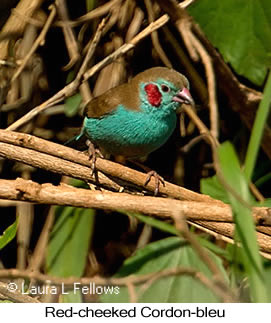 Red-cheeked Cordonbleu - © Laura L Fellows and Exotic Birding LLC
