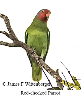 Red-cheeked Parrot - © James F Wittenberger and Exotic Birding LLC