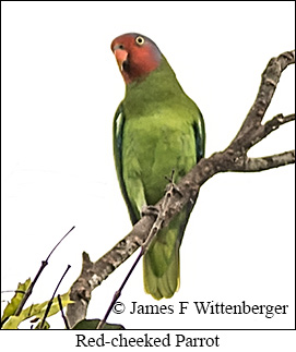 Red-cheeked Parrot - © James F Wittenberger and Exotic Birding Tours