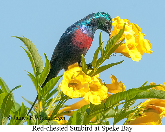 Red-chested Sunbird - © James F Wittenberger and Exotic Birding LLC