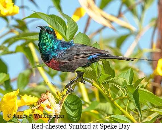 Red-chested Sunbird - © The Photographer and Exotic Birding LLC