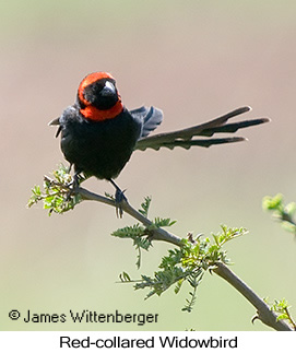Red-collared Widowbird - © James F Wittenberger and Exotic Birding Tours