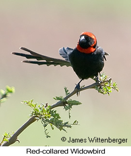 Red-collared Widowbird - © James F Wittenberger and Exotic Birding LLC