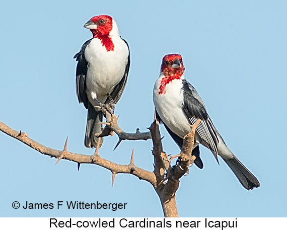 Red-cowled Cardinal - © James F Wittenberger and Exotic Birding LLC