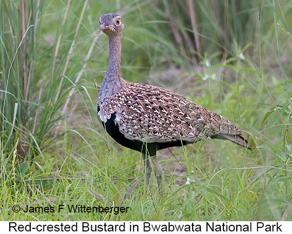 Red-crested Bustard - © James F Wittenberger and Exotic Birding LLC