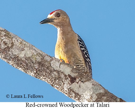 Red-crowned Woodpecker - © Laura L Fellows and Exotic Birding LLC