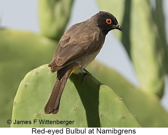 Red-eyed Bulbul - © James F Wittenberger and Exotic Birding LLC