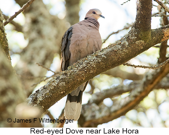 Red-eyed Dove - © James F Wittenberger and Exotic Birding LLC