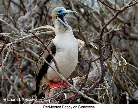 Red-footed Booby - © Laura L Fellows and Exotic Birding LLC
