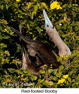 Red-footed Booby - © Laura L Fellows and Exotic Birding Tours