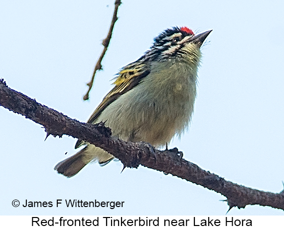 Red-fronted Tinkerbird - © James F Wittenberger and Exotic Birding LLC