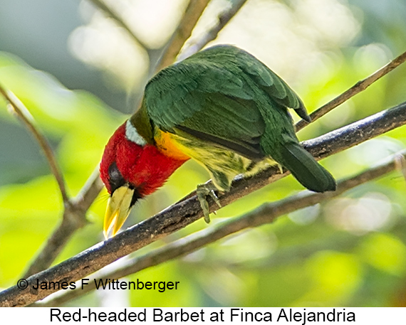 Red-headed Barbet - © James F Wittenberger and Exotic Birding LLC