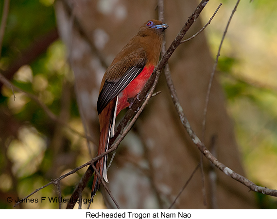 Red-headed Trogon - © James F Wittenberger and Exotic Birding Tours