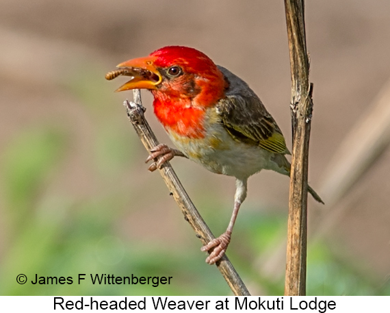 Red-headed Weaver - © James F Wittenberger and Exotic Birding LLC