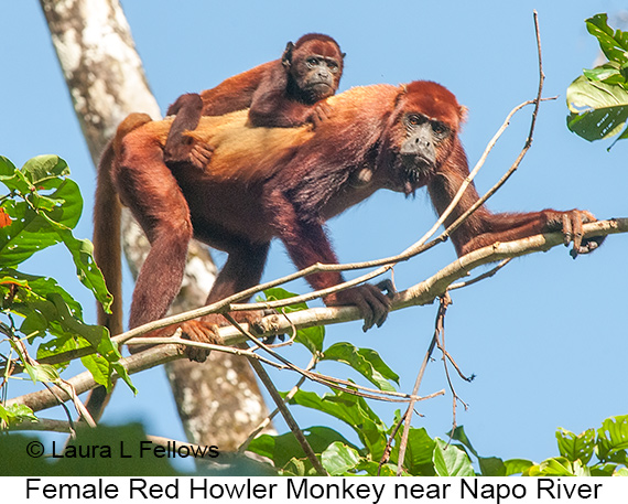 Red-howler Monkey - © The Photographer and Exotic Birding LLC