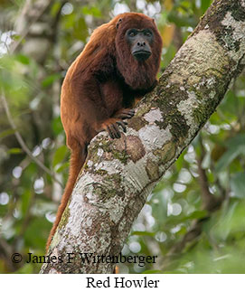 Red-howler Monkey - © James F Wittenberger and Exotic Birding Tours