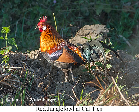 Red Junglefowl - © James F Wittenberger and Exotic Birding LLC