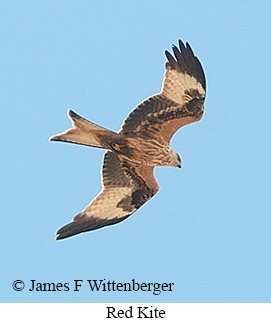 Red Kite - © James F Wittenberger and Exotic Birding Tours