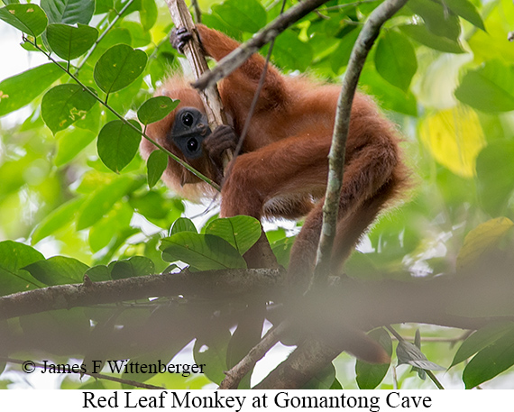 Red-leaf Monkey - © James F Wittenberger and Exotic Birding LLC