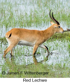Red Lechwe - © James F Wittenberger and Exotic Birding LLC