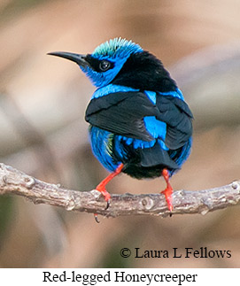 Red-legged Honeycreeper - © Laura L Fellows and Exotic Birding Tours