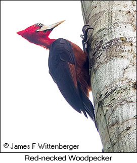Red-necked Woodpecker - © James F Wittenberger and Exotic Birding Tours