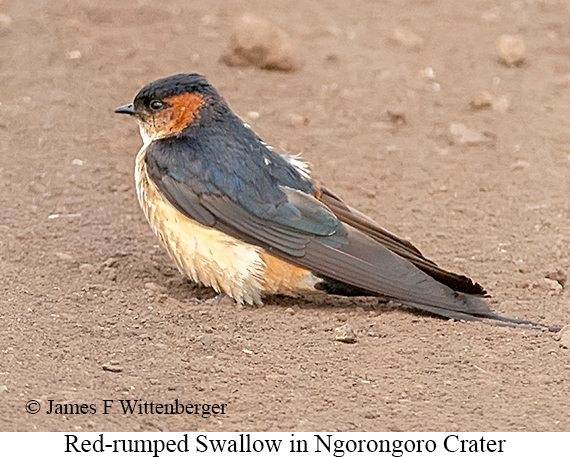 Red-rumped Swallow - © James F Wittenberger and Exotic Birding LLC