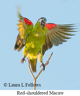 Red-shouldered Macaw - © Laura L Fellows and Exotic Birding Tours