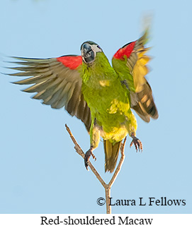Red-shouldered Macaw - © Laura L Fellows and Exotic Birding LLC