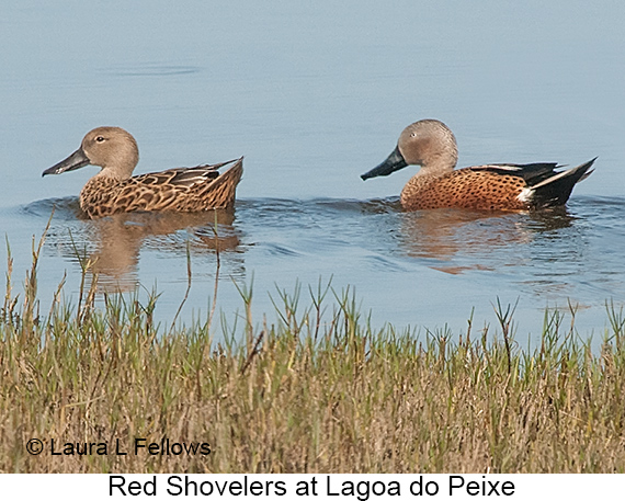 Red Shoveler - © Laura L Fellows and Exotic Birding Tours