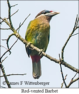 Red-vented Barbet - © James F Wittenberger and Exotic Birding Tours