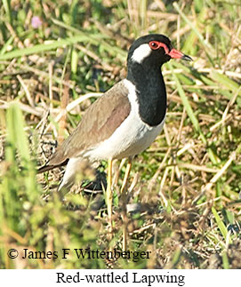 Red-wattled Lapwing - © James F Wittenberger and Exotic Birding Tours