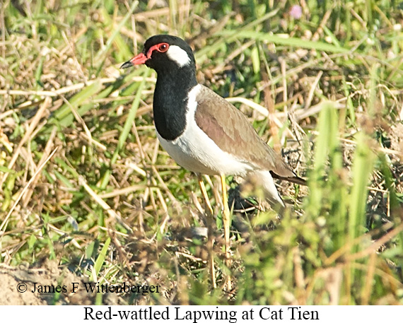 Red-wattled Lapwing - © James F Wittenberger and Exotic Birding LLC