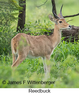 Reedbuck - © James F Wittenberger and Exotic Birding LLC