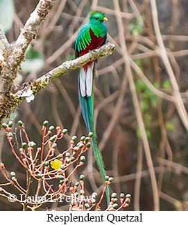 Resplendent Quetzal - © Laura L Fellows and Exotic Birding LLC