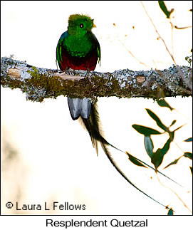 Resplendent Quetzal - © Laura L Fellows and Exotic Birding Tours